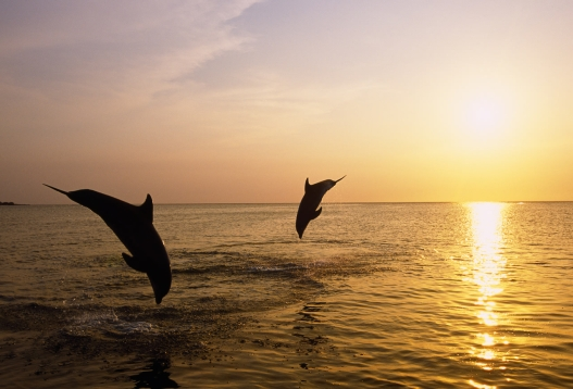 Silhouette of bottlenose dolphins